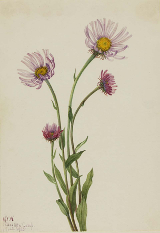 Picture of Alaska Fleabane, 1925