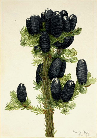 Picture of Alpine Fir by Mary Vaux Walcott, 1918