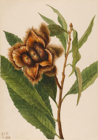 Picture of American Chestnut by Mary Vaux Walcott, 1932