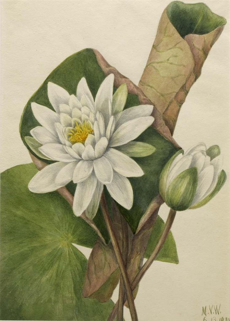 Picture of American Waterlily by Mary Vaux Walcott