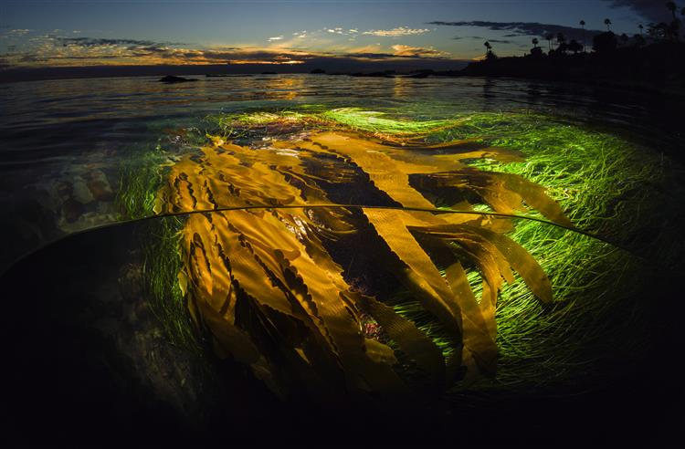 Picture of A Kelp Perspective