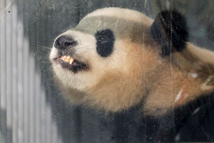 Close up of a Panda