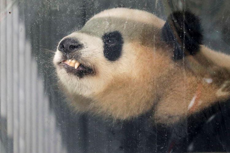 Close up of a Panda