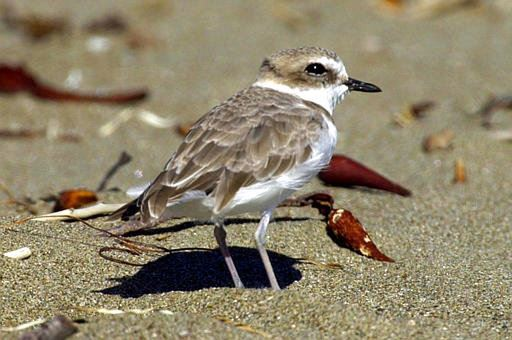 A snowy plover at a beach nesting area in San Luis Obispo County on California's Central Coast
