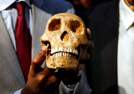 A replica skull of a species belonging to the human family tree whose remnants were first discovered in a South African cave.