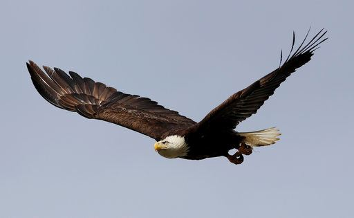 A bald eagle takes flight Wednesday