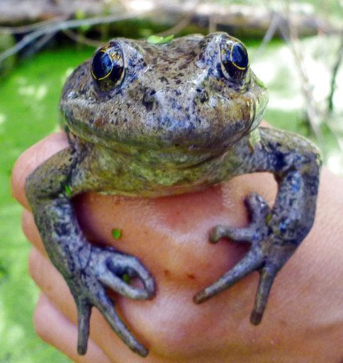 National Park Service shows a California red-legged frog (Rana draytonii), found in the Santa Monica Mountains near Los Angeles