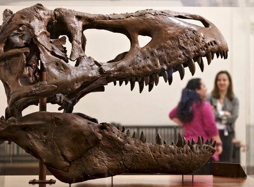 A Tyrannosaurus Rex fossil discovered in Montana greets visitors as they enter the Smithsonian Museum of Natural History in Washington