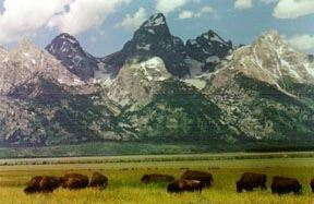 Picture of The Buffalo