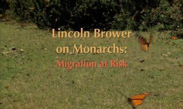 Picture of Lincoln Brower on Monarchs: Migration at Risk