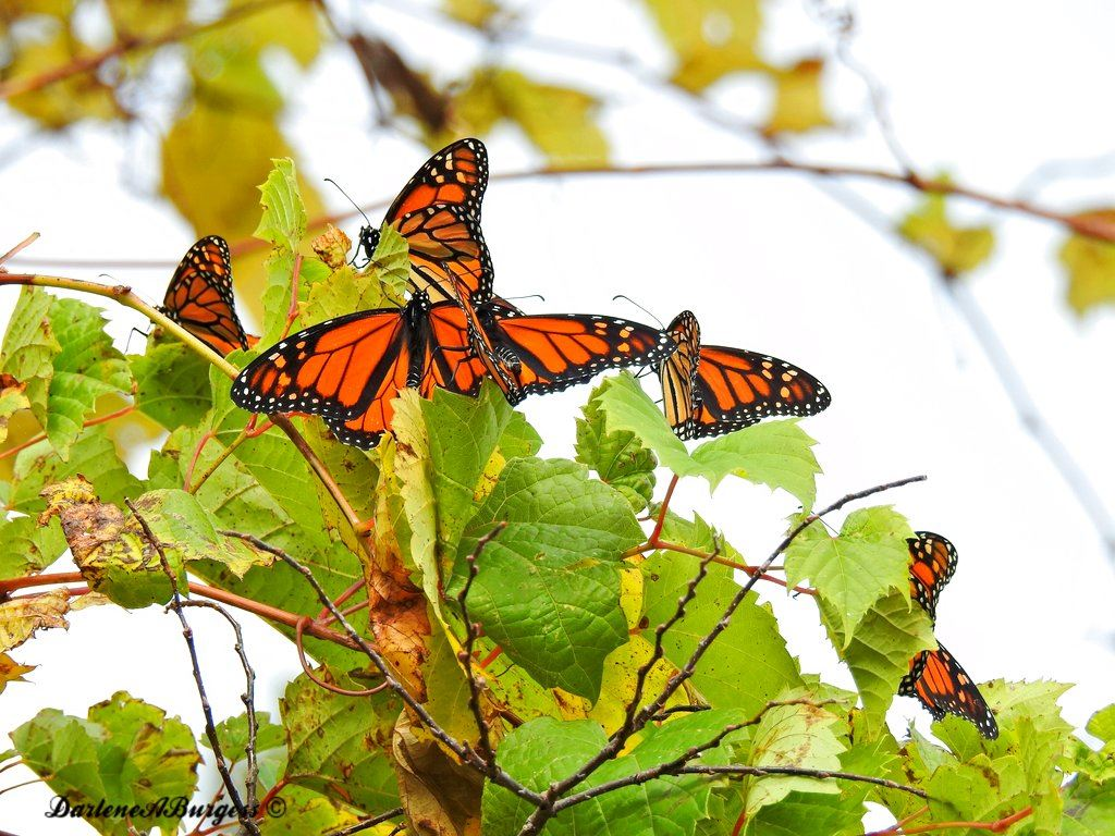 Picture of Misplaced monarchs: Clusters of butterflies stuck up north