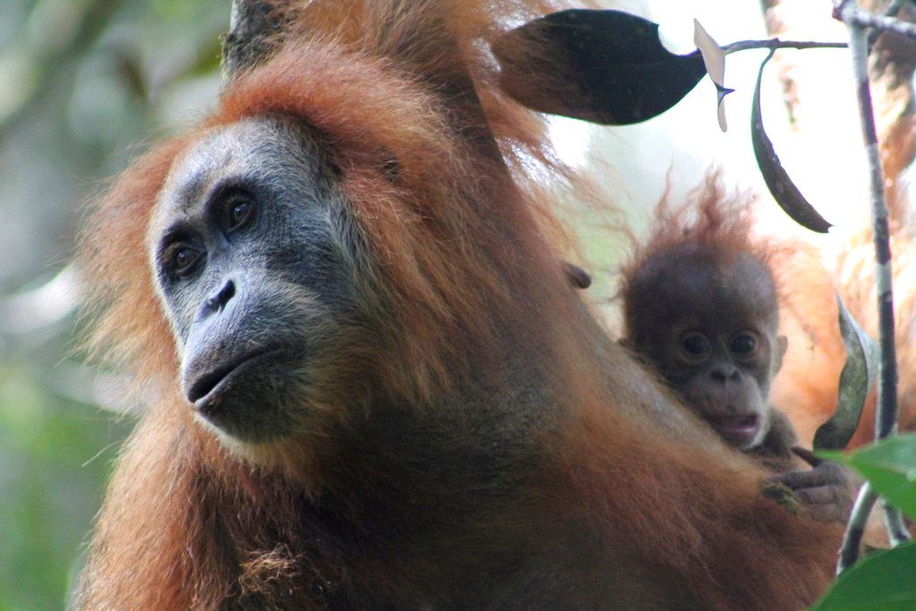 Picture of Frizzy-haired, smaller-headed orangutan may be new great ape