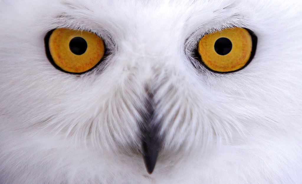 Picture of Snowy owls fitted with tracking devices to aid researchers