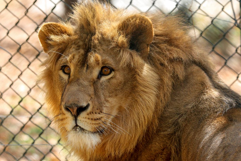 Picture of 2 lions saved from Mideast wars head to South Africa refuge