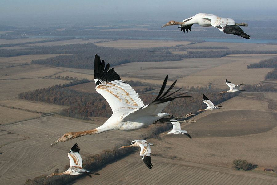Picture of As more Texans 'Give a Whoop,' hope for saving iconic cranes – and coast