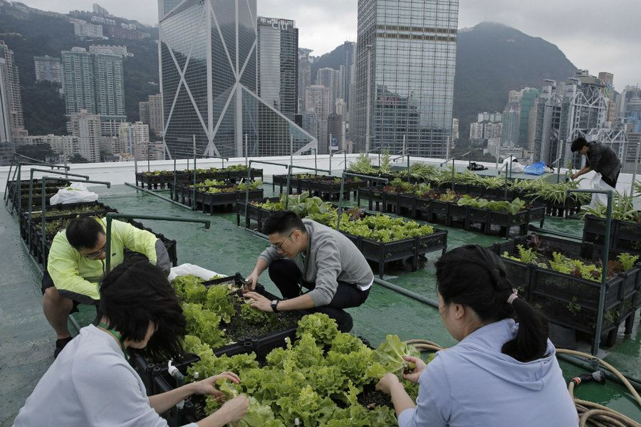 Picture of Skyline farms in Hong Kong reap happiness along with food