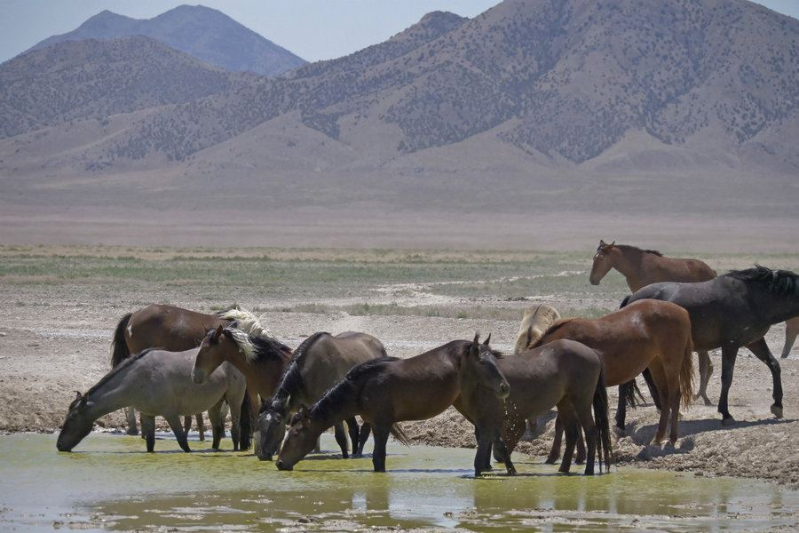 Picture of American West rounds up wild horses threatened by drought
