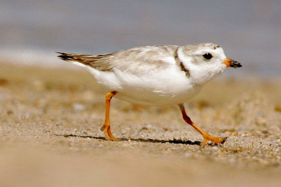 Picture of In Massachusetts, a big comeback for a little bird