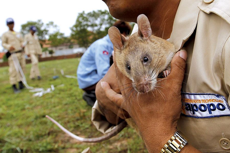 Picture of Meanwhile in ... Cambodia, 'hero rats' are helping with mine clearance