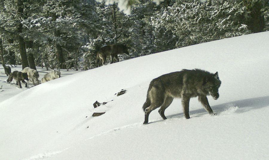 Picture of US moves to remove gray wolf protections