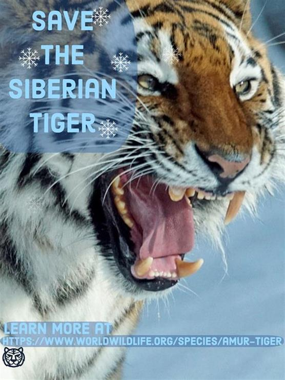 Picture of Siberian tiger by Owen from California