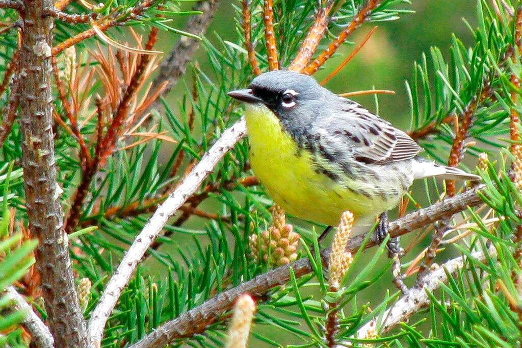 Picture of Once nearly extinct, songbird coming off endangered list