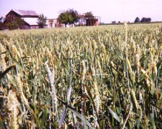 <b>Wheatfields on the plains of Kansas</b>