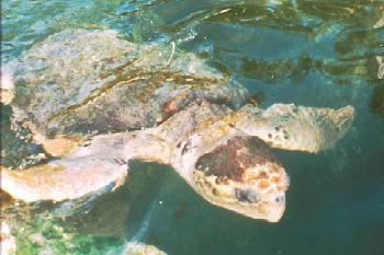 Loggerhead Sea Turlte image courtesy of the Florida Fish and Wildlife Conservation Commission