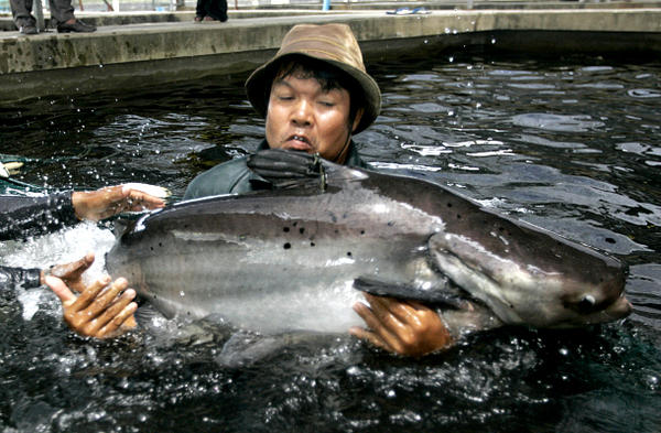 A Thai fishery department official catches a Mekong giant catfish to harvest its eggs, as part of a captive-breeding program at the Inland Aquaculture Research Institute outside Bangkok. Breeding fish in captivity can be an important source of food and jobs. But it can also be environmentally destructive. More sustainable methods are being explored worldwide.  <P>Sukree Sukplan/Reuters/File