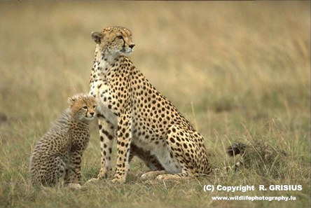 <a href=http://www.cheetah.org/?keywords=&html=gallery-01&base=10&chunk=9>Cheetah and baby </a> (R. Grisius)