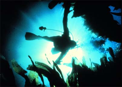 Diver descends through giant kelp bed.  Photographer W. Busch, NOAA
