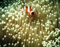 """<a href=http://www.coralreef.noaa.gov/welcome.html>""""Clown fish live symbiotically with sea anemones. Photo credit: Andy Bruckner."""" </a>"""