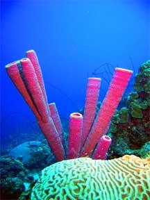 Purple Tube Sponges<br>(photo courtesy of Jim Dean)