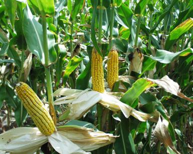 <b> Corn Ears </b>