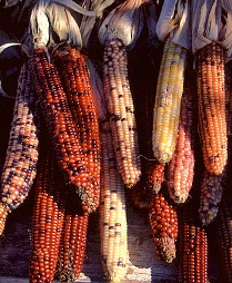 <a href=https://www.stormeffects.com/images/Indian%20Corn.jpg> <b>Indian Corn Varieties</a></b>