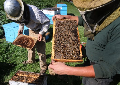 Matthew Burris, right, and Ethan Bennett examine frames from a honey bee hive east of Junction City, Ore. A federal appeals court Thursday,Sept. 10, 2015, blocked the use of a pesticide over concerns about its effect on honey bees, which have mysteriously disappeared across the country in recent years. (Brian Davies/The Register-Guard via AP)