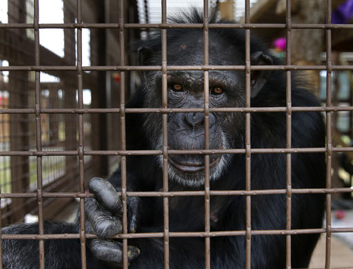 In this photo taken Aug. 8, 2016, Jamie, a chimp who lives at Chimpanzee Sanctuary Northwest near Cle Elum, Wash., looks through a window of an enclosure during a birthday celebration for another chimp. Sanctuaries across the country are preparing for an influx of retired private lab chimpanzees, now that the federal government has stopped backing experiments on humankind's closest relatives. (AP Photo/Ted S. Warren)