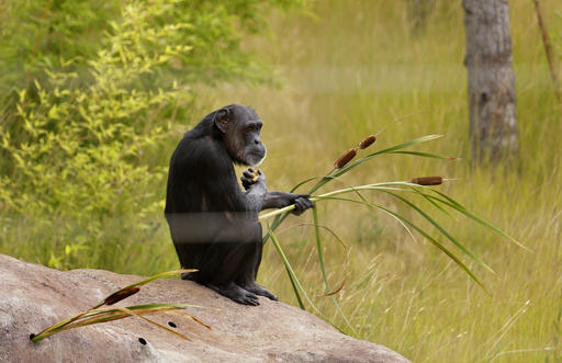 In this photo taken Aug. 8, 2016, Jody, a chimp who lives at Chimpanzee Sanctuary Northwest near Cle Elum, Wash., holds some plants as she sits in an outside play area. Sanctuaries across the country are preparing for an influx of retired private lab chimpanzees, now that the federal government has stopped backing experiments on humankind's closest relatives. (AP Photo/Ted S. Warren)
