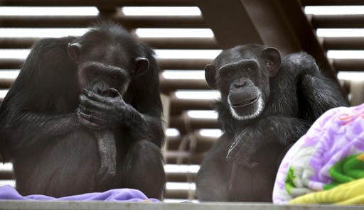 In this photo taken Aug. 8, 2016, Foxie, right, and Annie, left, two chimps who live at Chimpanzee Sanctuary Northwest near Cle Elum, Wash., sit on a platform during a party for Foxie's 40th birthday. Sanctuaries around the country are preparing for an influx of retired private lab chimps now that the federal government has stopped backing experiments on humankind's closest relatives. (AP Photo/Ted S. Warren)