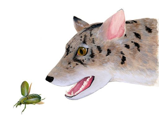 This undated illustration provided by Monica Jurik and The Field Museum in Chicago, shows the artist's reconstruction of an early 38 million year-old beardog. For decades two sets of fossilized carnivore jaw bones sat in a drawer in the museum largely unnoticed. Now the scientist who grew curious about them has established with a colleague that that the fossils belonged to an early, long-extinct relative of dogs, foxes and weasels known as beardogs. (Monica Jurik/The Field Museum via AP)