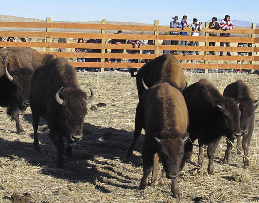 Buffalo await release from a corral south of Pilot Butte, Wyo., in the Wind River Indian Reservation, Wyo., on Thursday, Nov. 3, 2016. The Eastern Shoshone Tribe released 10 buffalo, marking the first time in more than a century that the animals have roamed the area. (AP Photo/Ben Neary)