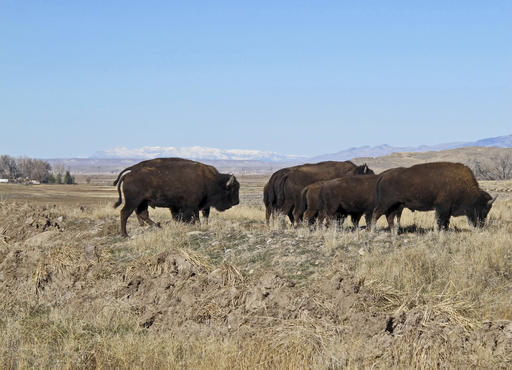 Buffalo explore their new terrain after their release from a corral south of Pilot Butte, on the Wind River Indian Reservation, Wyo., on Thursday, Nov. 3, 2016. The Eastern Shoshone Tribe released 10 buffalo, marking the first time in more than a century that the animals have roamed the area. (AP Photo/Ben Neary)