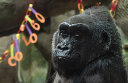 Colo, the nation's oldest living gorilla, sits inside of her enclosure during her 60th birthday party at the Columbus Zoo and Aquarium, Thursday, Dec. 22, 2016 in Columbus, Ohio. Colo was the first gorilla in the world born in a zoo and has surpassed the usual life expectancy of captive gorillas by two decades. Her longevity is putting a spotlight on the medical care, nutrition and up-to-date therapeutic techniques that are helping lengthen zoo animals' lives. (AP Photo/Ty Wright)