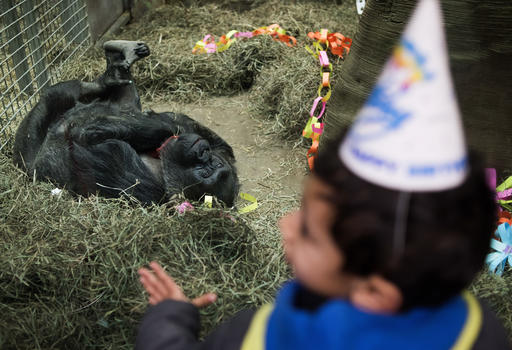 A young boy wearing a birthday hat looks through the glass at Colo, the nation's oldest living gorilla, during her 60th birthday party at the Columbus Zoo and Aquarium, Thursday, Dec. 22, 2016 in Columbus, Ohio. Colo was the first gorilla in the world born in a zoo and has surpassed the usual life expectancy of captive gorillas by two decades. Her longevity is putting a spotlight on the medical care, nutrition and up-to-date therapeutic techniques that are helping lengthen zoo animals' lives. (AP Photo/Ty Wright)
