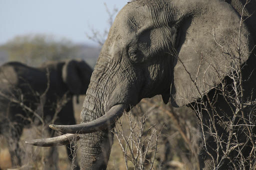In this file photo taken Friday, Sept. 30, 2016, an elephant walks through the bush at the Southern African Wildlife College on the edge of Kruger National Park in South Africa. The Chinese government said in a statement released on Friday Dec. 30, 2016, it will shut down its official ivory trade at the end of 2017 in a move designed to curb the mass slaughter of African elephants.(AP Photo/Denis Farrell, FILE)