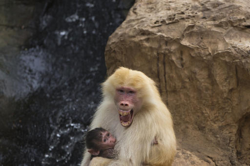 In this Wednesday, Sept. 29, 2015 file photo, Sahara, a rare red-haired female Hamadryas Baboon holds 3 weeks old dark-furred baby in the Ramat Gan Safari Park near Tel Aviv, Israel. A new study in France shows that baboons can make human-like vowel sounds, and its authors say the discovery could help scientists better understand the evolution of human speech. The study was published in the journal Plos One on Wednesday Jan. 11, 2017 by a team of scientists. (AP Photo/Ariel Schalit, File)