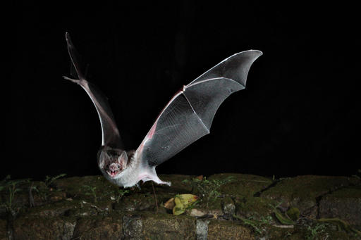 This photo provided by Andrea Rummel, Brown University, shows a bat. A three-ounce flying robot mimics the unique and more flexible way bats fly, this new robot prototype can do a better and safer job getting into disaster sites and scoping out construction zones than those bulky drones with spinning rotors, said the three authors of a study released Wednesday, Feb. 1, 2017, in the journal Science Robotics. (Andrea Rummel/Brown University... via AP)