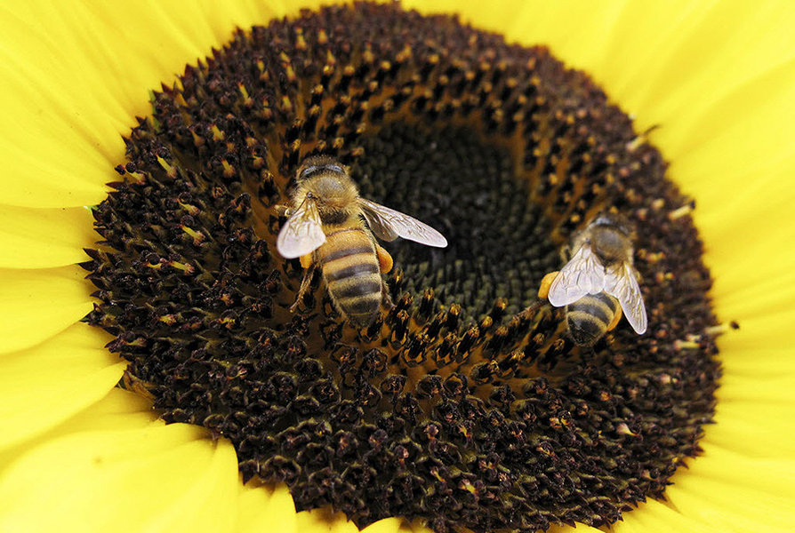 Bees land on a sunflower to gather pollen in Encinitas, California in this file photo from June 23, 2009. (Mike Blake/Reuteres/File)