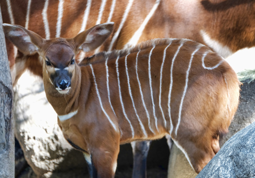A male, Eastern bongo calf mingles in his enclosure on the day of his debut at the Los Angeles Zoo on Thursday, Feb. 23, 2107. The unnamed male a type of antelope found in Kenya, was born at the zoo on Jan. 20. It spent time bonding with its mother behind the scenes before being introduced to the public on Thursday. (AP Photo/Richard Vogel)
