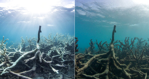 This combination of two photos taken in March and May 2016 released by The Ocean Agency/XL Catlin Seaview Survey shows bleached coral, left, and the same coral which has died in Lizard Island on Australia's Great Barrier Reef. Coral reefs, unique underwater ecosystems that sustain a quarter of the world's marine species and half a billion people, are dying on an unprecedented scale. Scientists are racing to prevent a complete wipeout within decades. (Richard Vevers and Christophe Bailhache/The Ocean Agency/XL Catlin Seaview Survey via AP)
